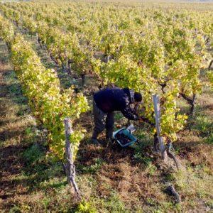 Vigneron dans sa vigne naturelle
